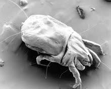 carpet dust mite