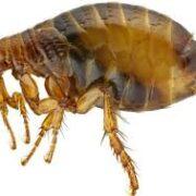 Fleas In Carpets
